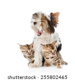 Stock photo biewer yorkshire terrier puppy and two bengal kittens isolated on white background 255802465