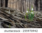 Spring Snowdrop Flowers Coming...