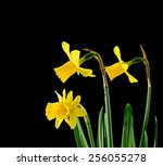 yellow narcissus flowers  close ...   Shutterstock . vector #256055278