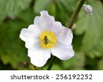 Cherokee Rose With Green Leaves