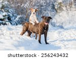 Two American Staffordshire...