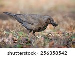 Blackbird With Material For Th...