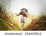 Auvergne Pointing Dog Running...