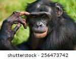 Portrait Of A Bonobo....