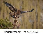 Golden Eagle Landing With Prey