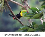 Rainbow Toucan Sees Lunch On...