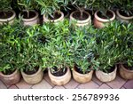 Young Olive Trees In Pots On A...