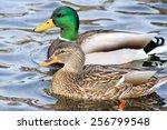 Mallard Duck Mates Swimming...