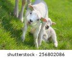 Little New Born Lamb On Green...