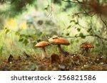 Orange Cap Bolete Mushrooms...