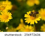 A Bee On Yellow Daisy Flower ...