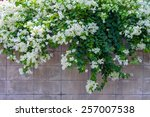 White Bougainvillea Flower On...