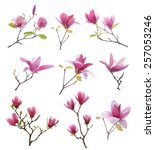 Stock photo collection of pink magnolia flowers isolated on white background 257053246