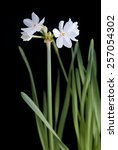 White Narcissus Isolated On...