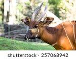 Bongo Antelope At Zoo....