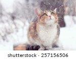 Stock photo cute purebred cat 257156506