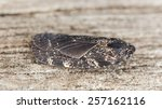 Small photo of Cixidia confini, Achilidae on wood