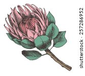 Protea. Hand Drawn Vector...