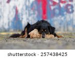 a dog lies with his teddy bear... | Shutterstock . vector #257438425