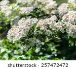 Bird Cherry Closeup With...