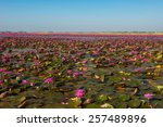 Lake Of Pink Water Lily At...