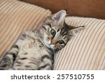 Stock photo maine coon kitten lying on the pillow small depth of field 257510755