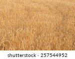 Gold Ears Of Wheat Under Sky....