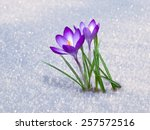 First Blue Crocus Flowers ...