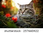cute siberian cat in puppy field | Shutterstock . vector #257660422