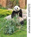 Giant Panda Sitting And Eating...
