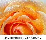 Macro Of Orange Rose With Wate...