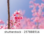 pink sakura flower blooming on... | Shutterstock . vector #257888516