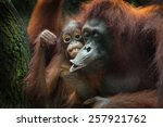 the orangutans are the two... | Shutterstock . vector #257921762