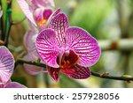 macro violet orchids vanda in... | Shutterstock . vector #257928056