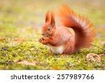 Red Squirrel Eating Hazelnut I...