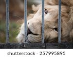 Lion In Cage  Look At Camera