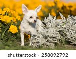 chihuahua in the park on the...   Shutterstock . vector #258092792