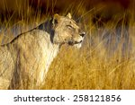 Lioness In Perfect Sunlight In...