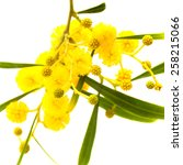 Small photo of yellow fluffy flowers of Acacia cyanophylla isolated on white