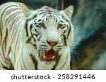 siberian tiger amur or... | Shutterstock . vector #258291446