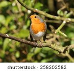 portrait of a robin | Shutterstock . vector #258302582