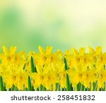 Yellow Narcissus Flowers  Clos...