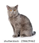 Big scottish cat looking at...