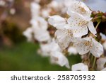 detail of a branch of almond... | Shutterstock . vector #258705932