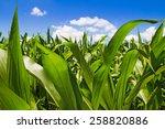 Corn Field Sunny Summer Day....