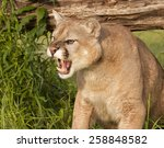 Snarling Mountain Lion Close Up