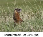 Yellow Bellied Marmot Standing in Grasses