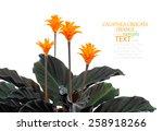 eternal flame flower  calathea... | Shutterstock . vector #258918266