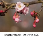 Small photo of Prunus accolade in flowers