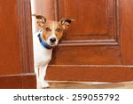 Stock photo jack russell terrier dog at the door at home watching the house 259055792